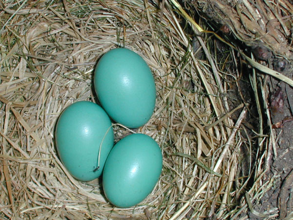 Three robin eggs